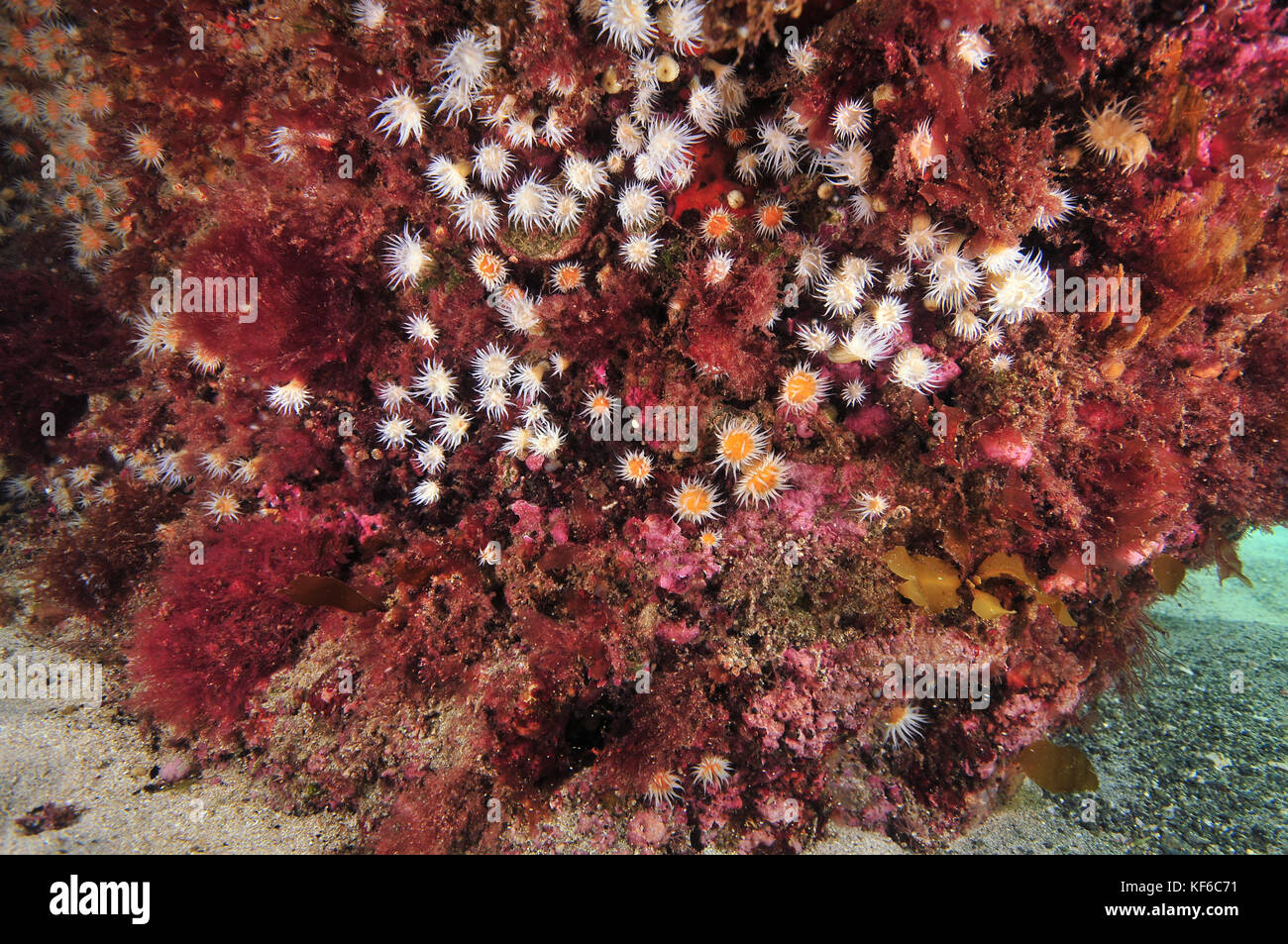 Garden of white-striped anemone Anthothoe albocincta on vertical rock face covered with pink algae. - Stock Image