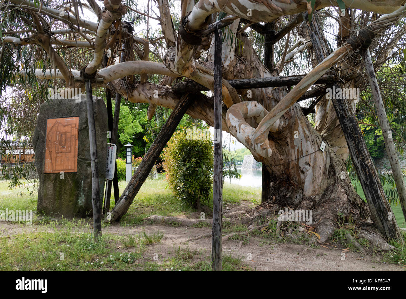 Hiroshima, Japan - May 25, 2017 : Deformed Eucalyptus tree at Hiroshima Castle that survived the A bom in 1945 - Stock Image