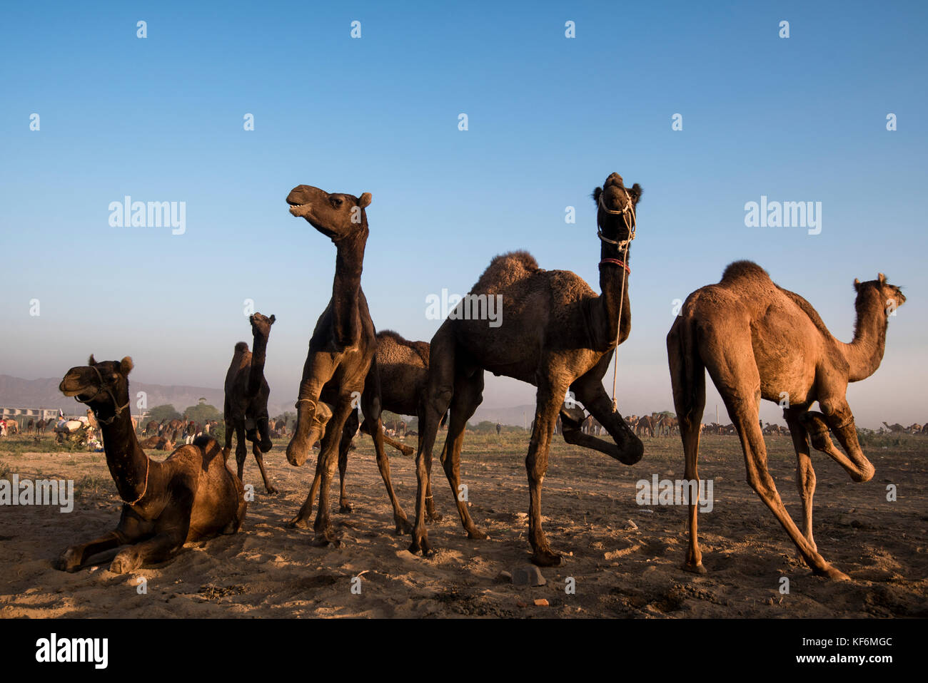 Pushkar, India. 25th Oct, 2017. Camels legs are are tied to keep them in one place. Credit: Ravikanth Kurma/Alamy - Stock Image