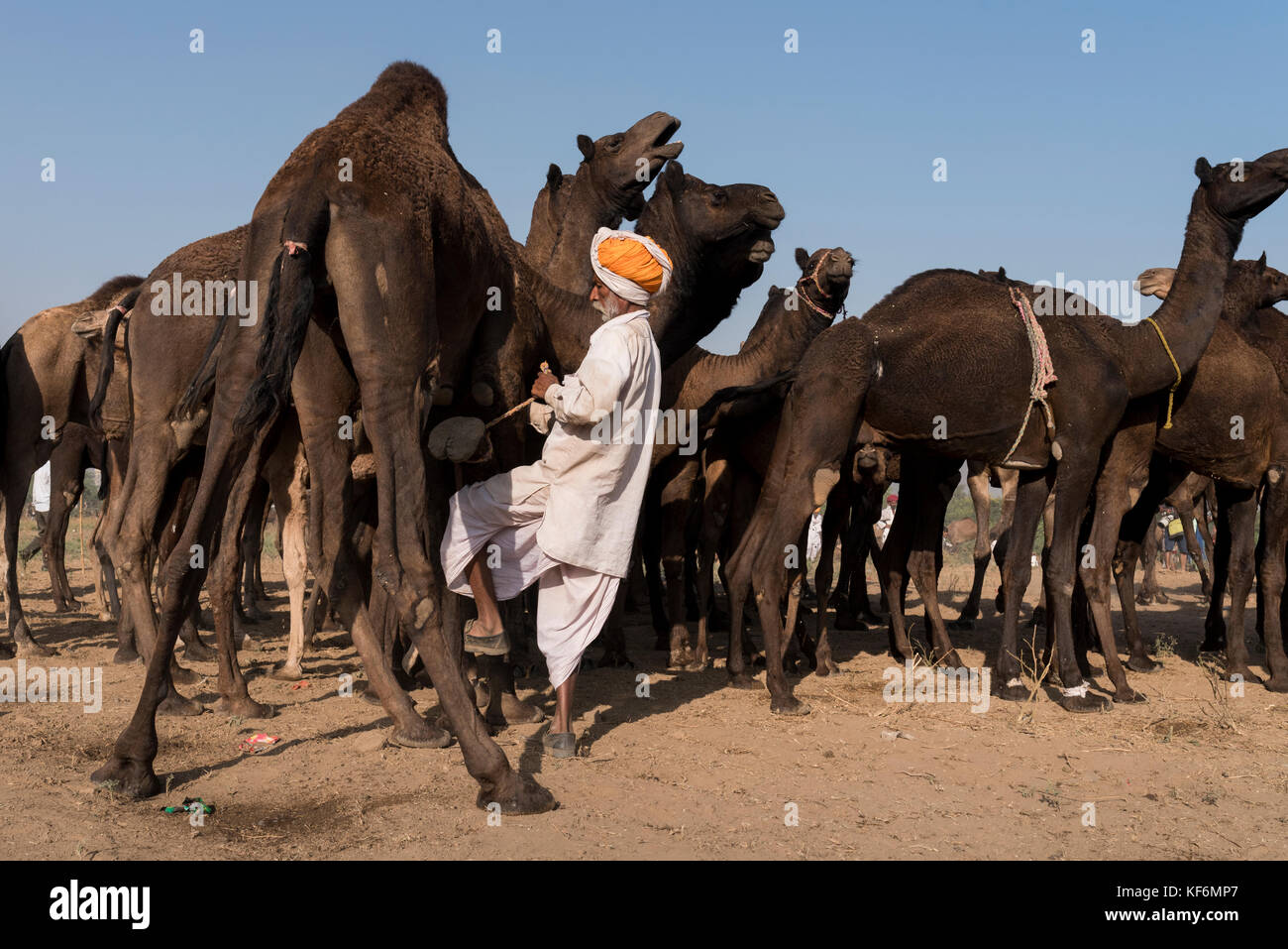 Pushkar, India. 25th Oct, 2017. One the camel leg is being tied to keep them in one place. Credit: Ravikanth Kurma/Alamy - Stock Image