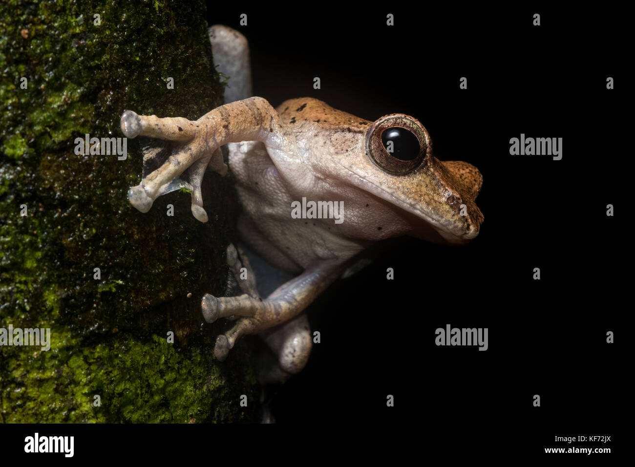A brown tree frog (Rhacophorus harrissoni) on a branch in a borean jungle. - Stock Image