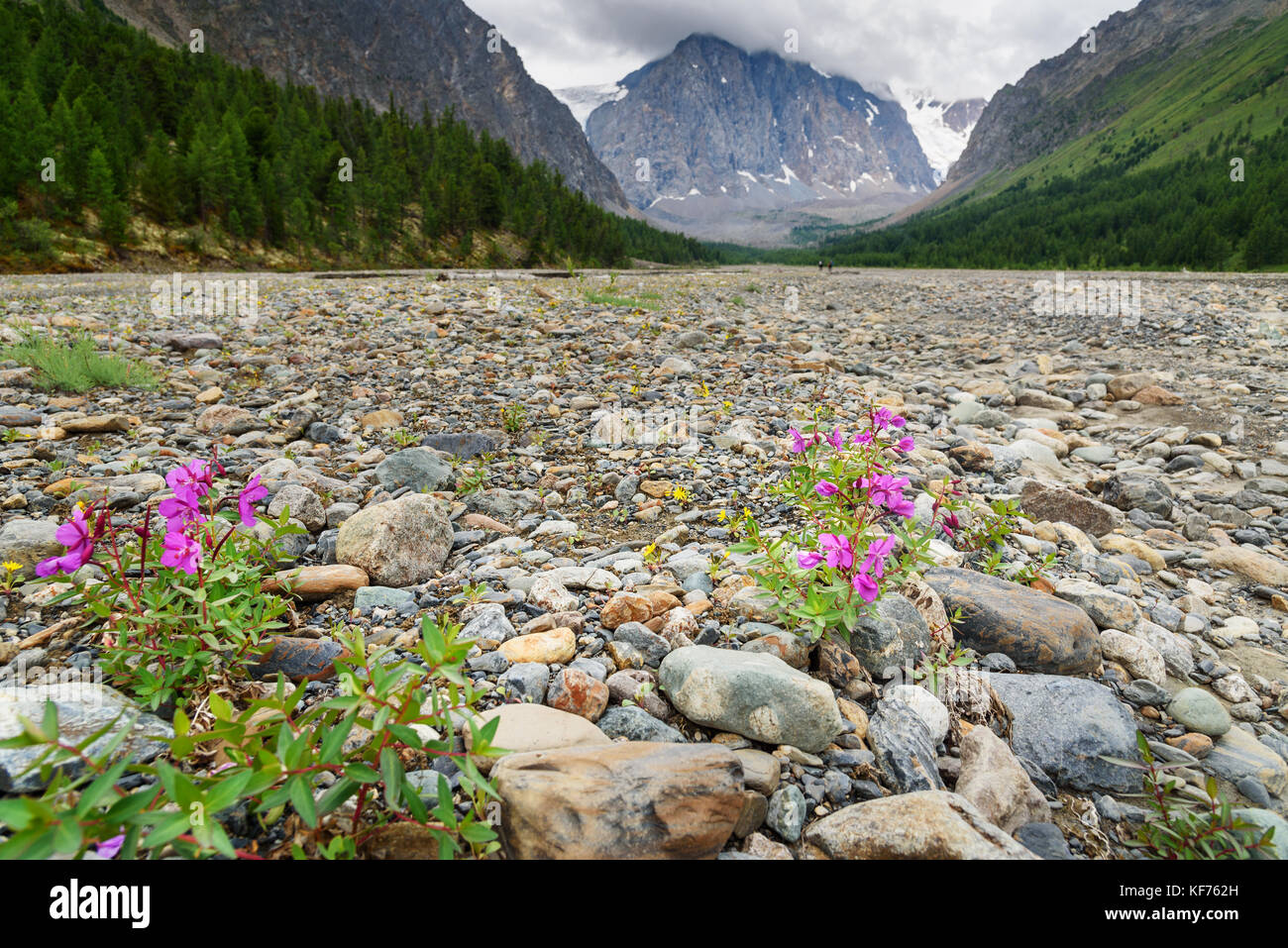 Chamaenerion latifolium fowers in Aktru valley. Altai Republic, Siberia. Russia Stock Photo