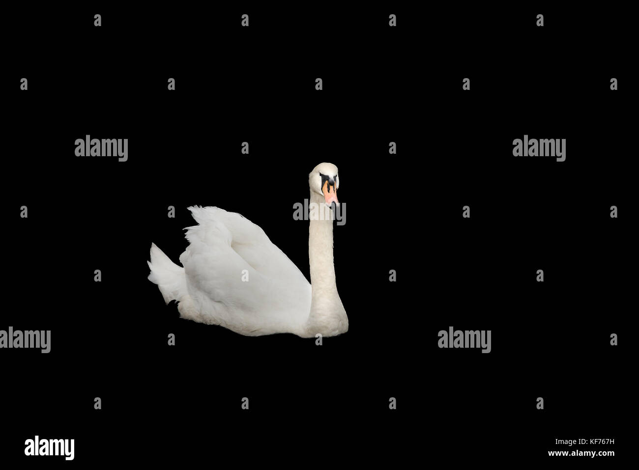 Beautiful White swan Isolated on black back ground with plenty of room for text. - Stock Image