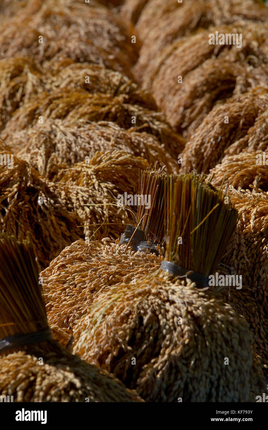 Rice Harvested and drying in the Cordilerras,Nothern Luzon area of the Hapao Rice Terraces,Banaue. - Stock Image