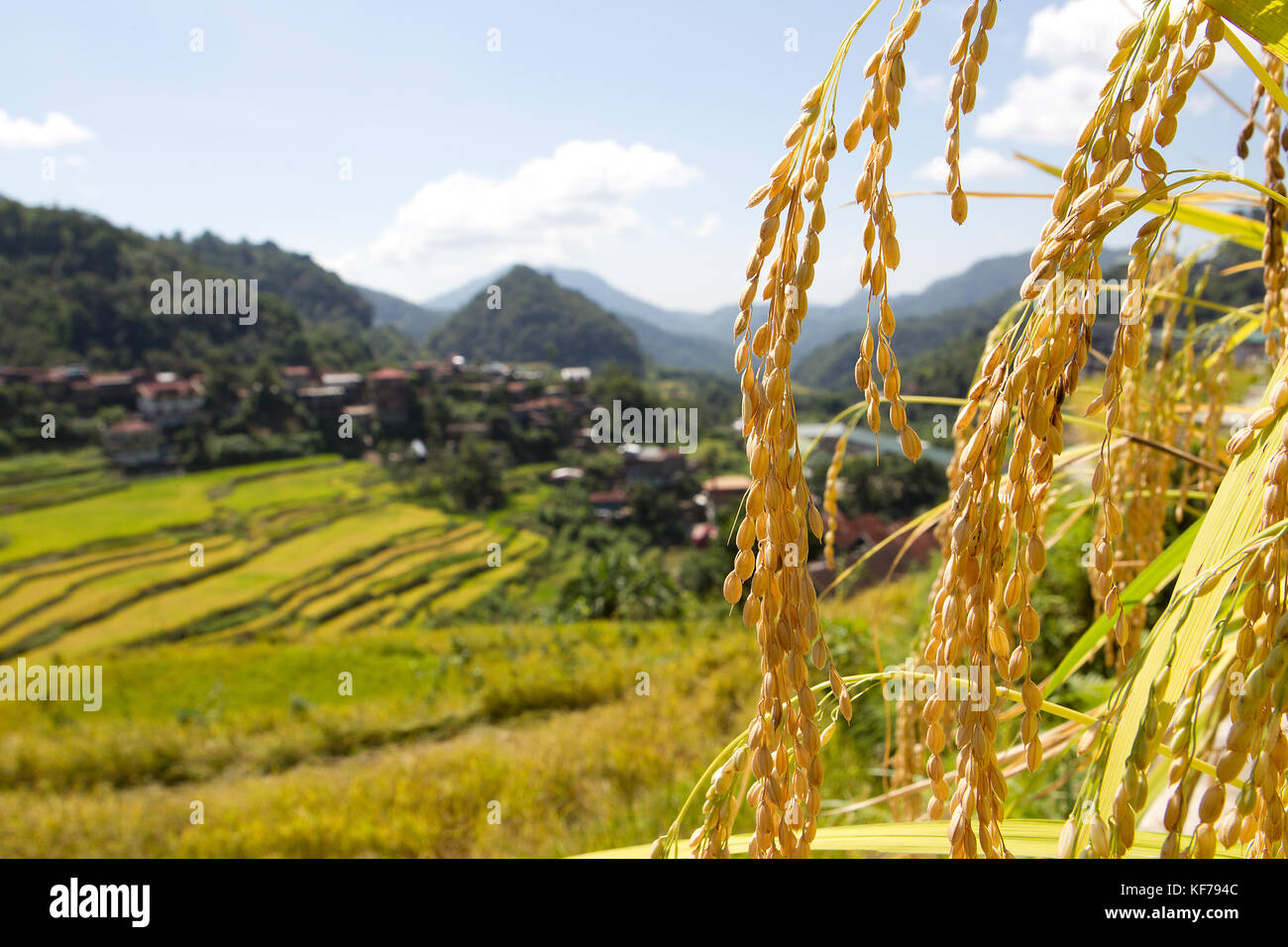 Rice growing in the area of the Hapao Rice Terraces,Banaue.Philippines - Stock Image