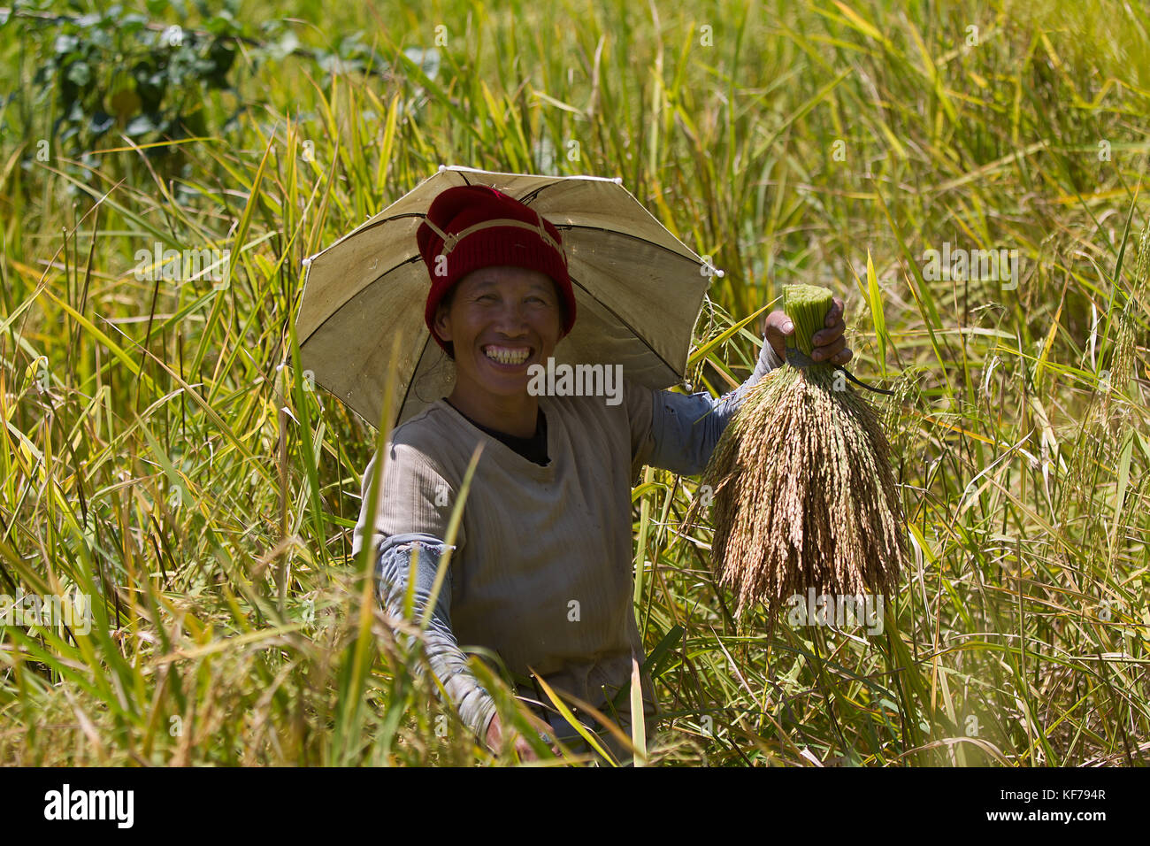 Rice Harvest Ceremony held in the Cordilerras,Nothern Luzon area of the Hapao Rice Terraces,Banaue. - Stock Image