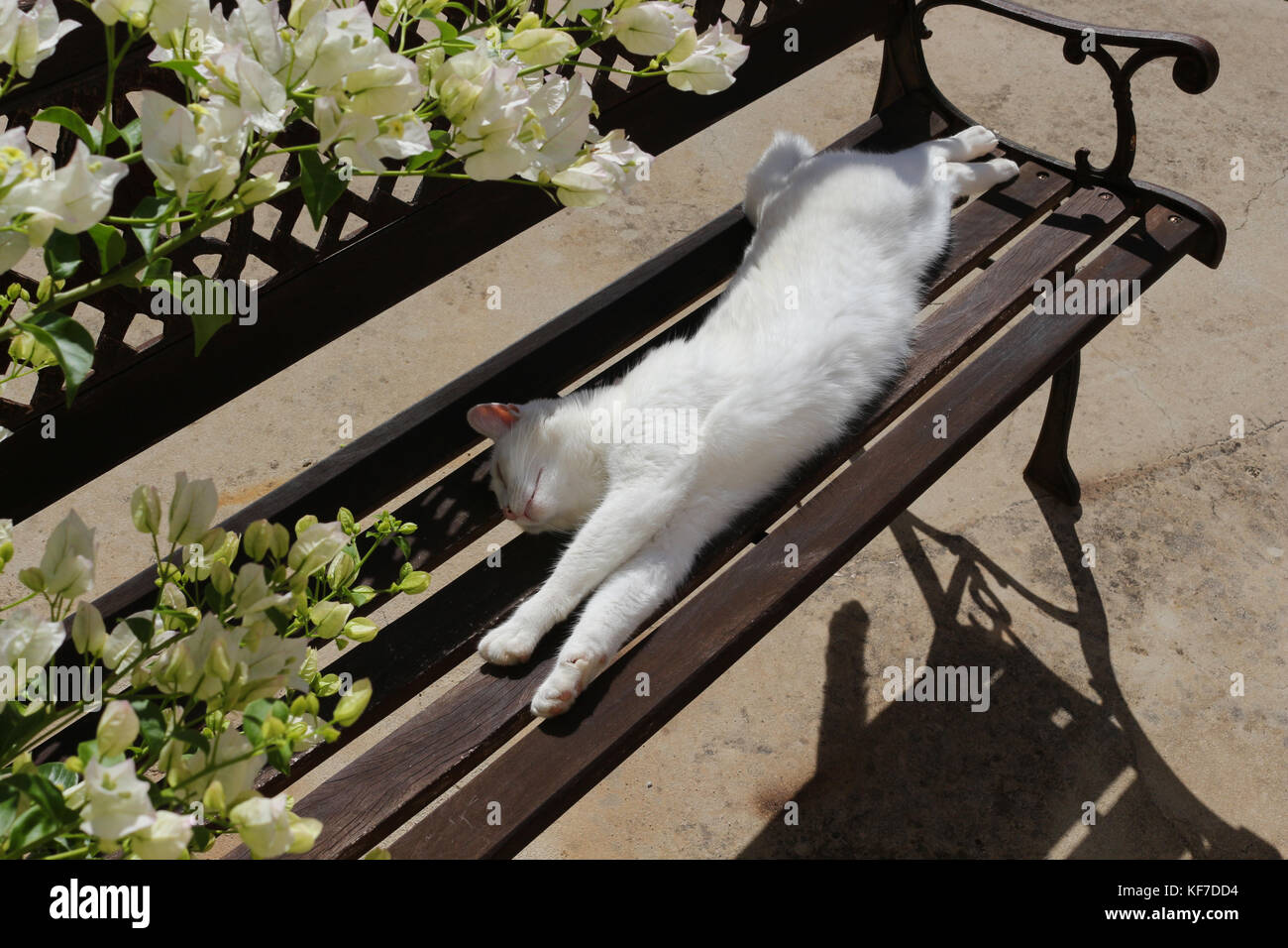 domestic cat, white, lying on a garden bench - Stock Image