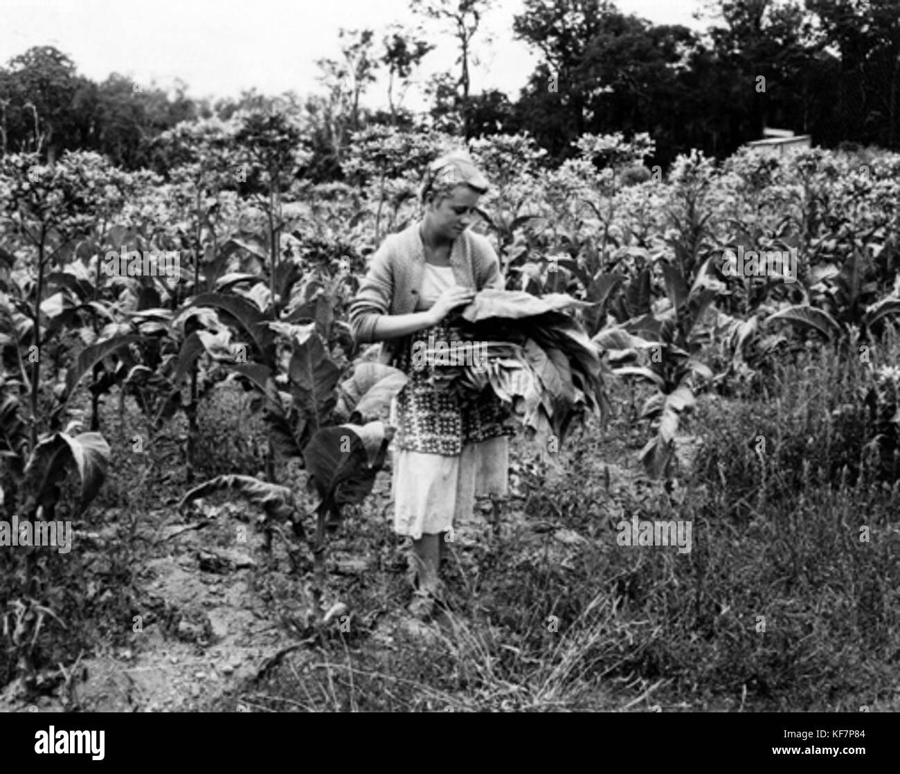 Picking tobacco leaves in Manjimup - Stock Image