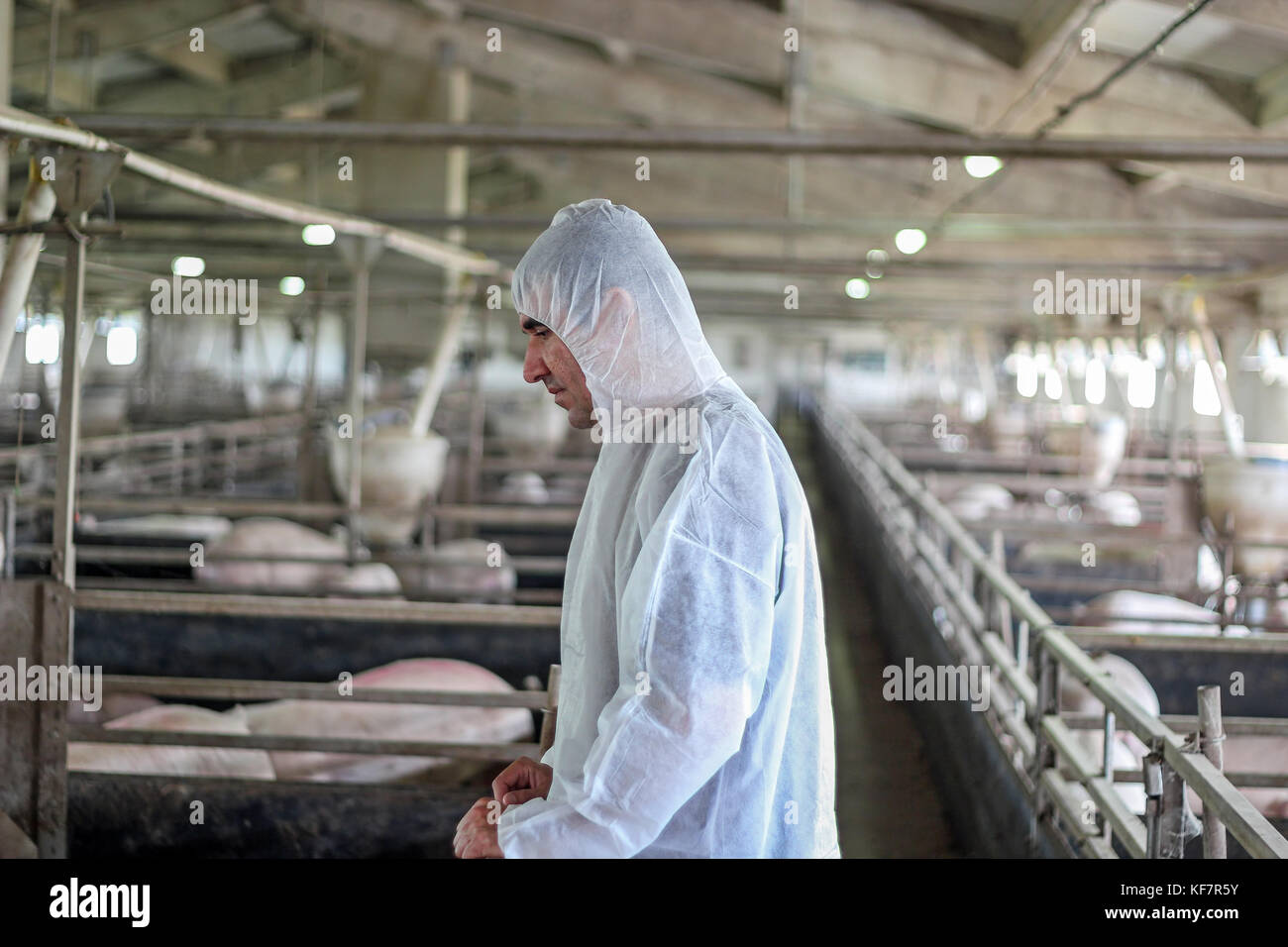 Veterinarian doctor wearing protective suit.  Intensive pig farming. Pig farm worker. - Stock Image