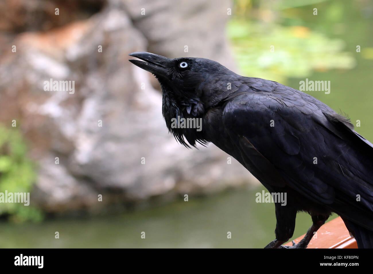 Australian raven calling - Stock Image
