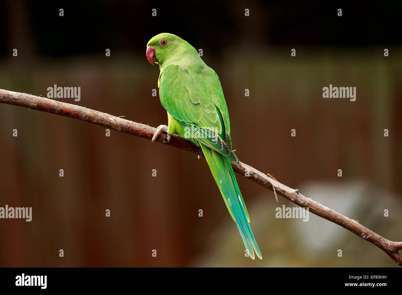 Rose-ring Parakeet - Stock Image