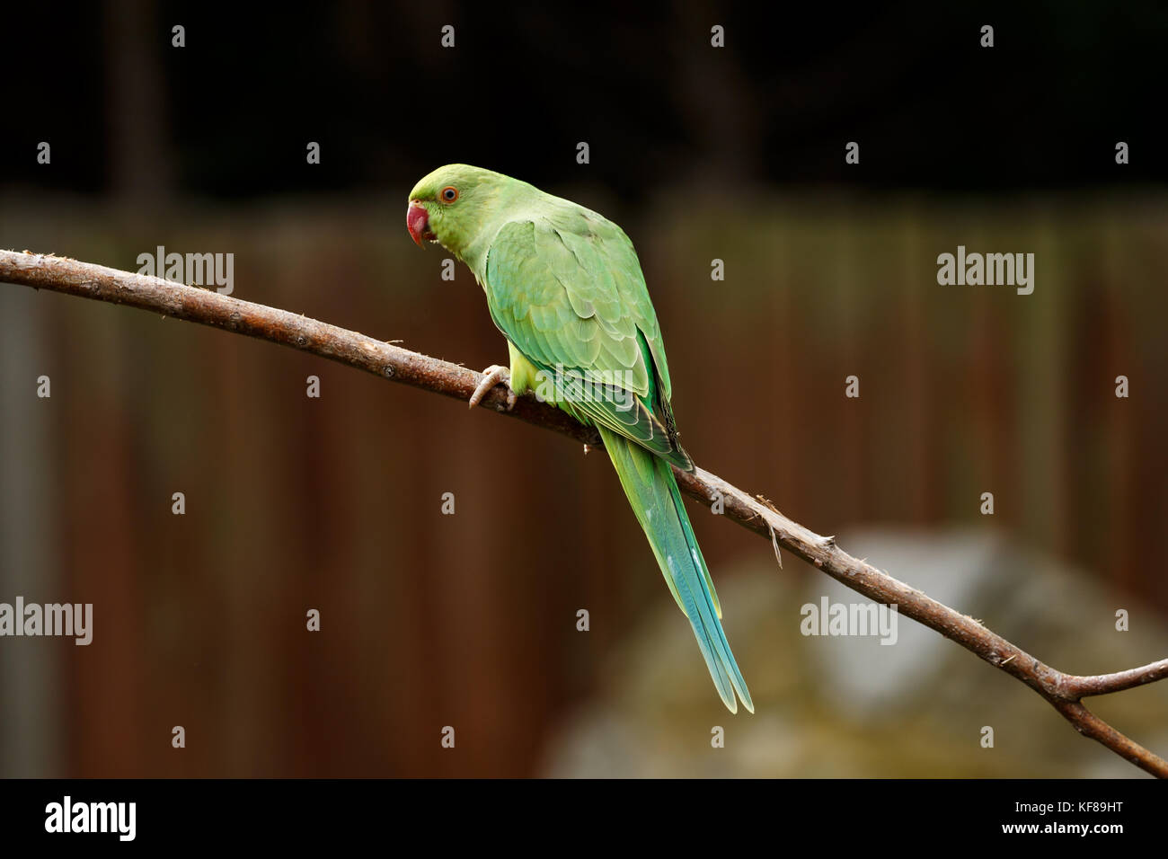 Rose-ring Parakeet Stock Photo