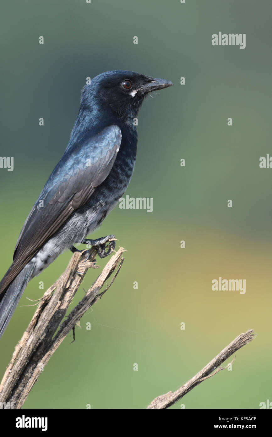 Black Drongo - Stock Image