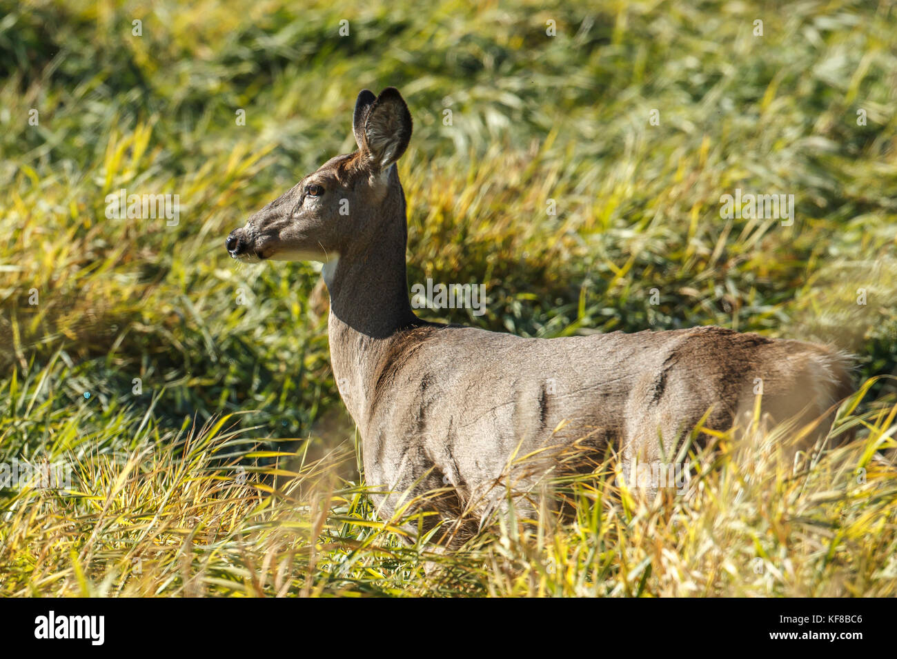 A close up of a white tail deer near Hauser, Idaho. - Stock Image