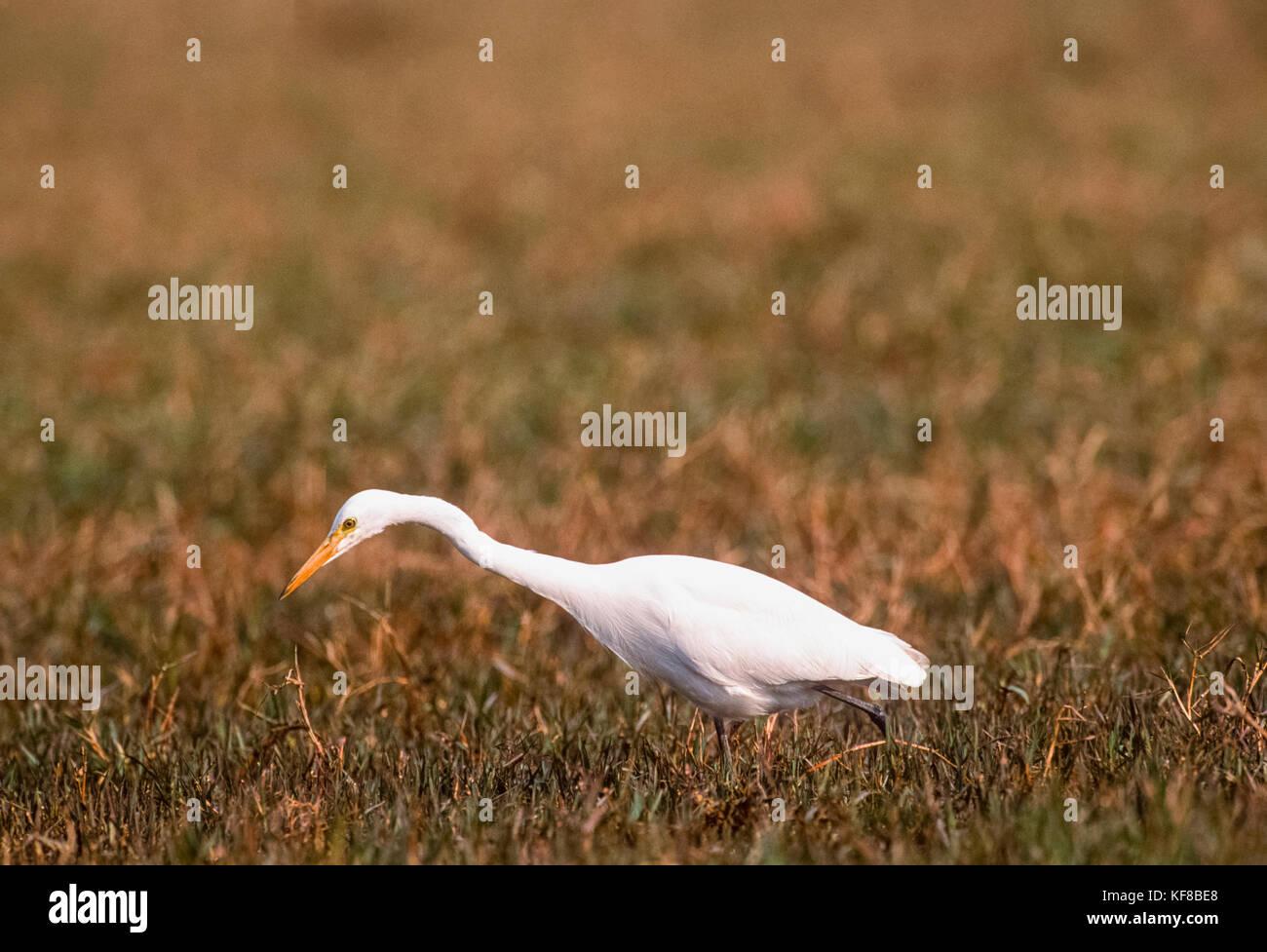 Great White Egret,(Ardea alba), hunting on wetlands, Keoladeo Ghana National Park, Bharatpur, Rajasthan, India - Stock Image