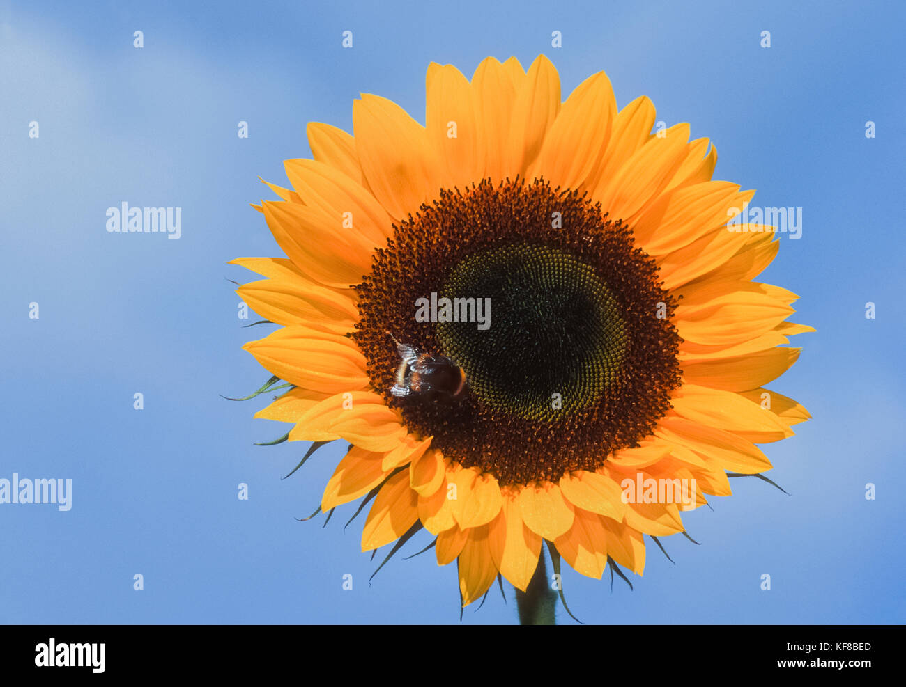 worker Buff-tailed bumblebee, (Bombus terrestris), nectar feeding on Helianthus or sunflower, (Helianthus annuus), - Stock Image