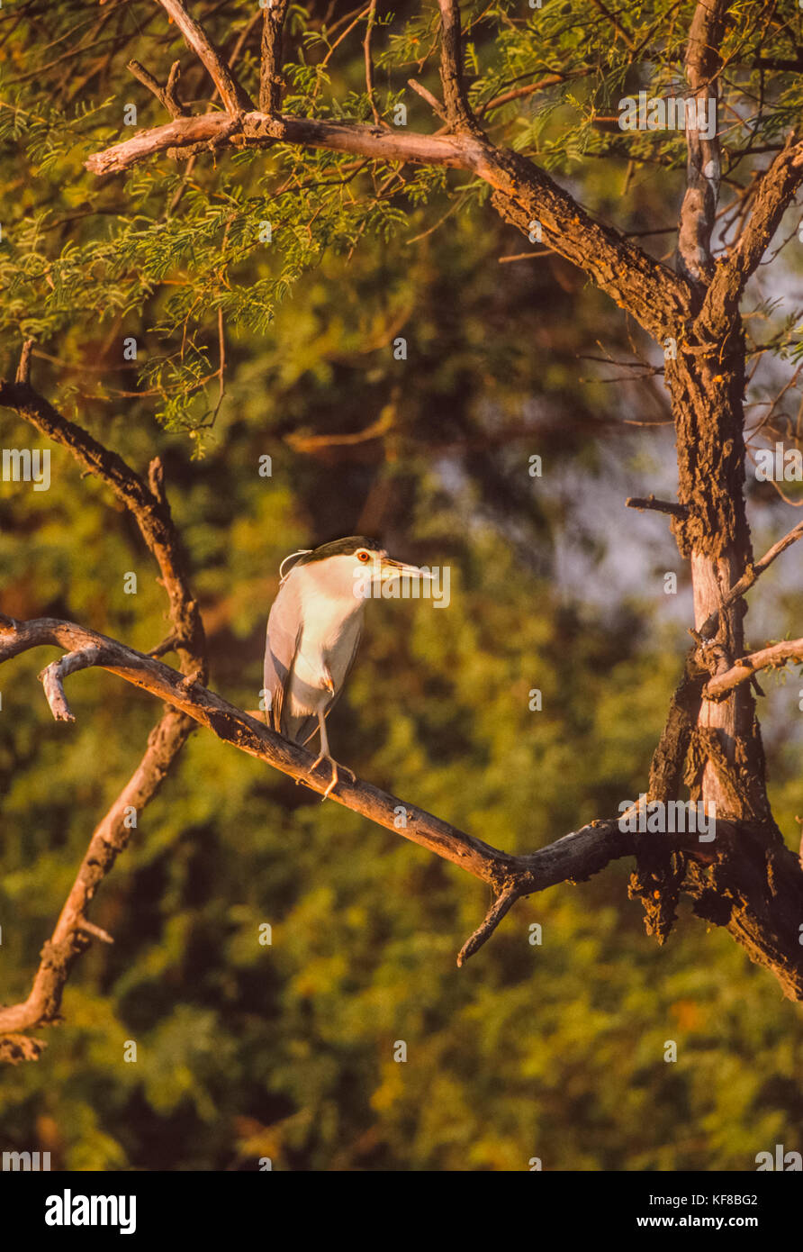 Black-Crowned Night Heron,  (Nycticorax nycticorax), perched in tree, Keoladeo Ghana National Park, Bharatpur, Rajasthan, - Stock Image