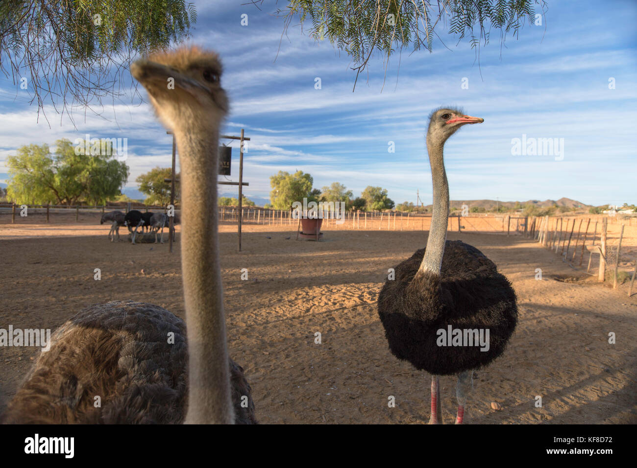 Highgate Ostrich Farm, Oudtshoorn, Western Cape, South Africa - Stock Image