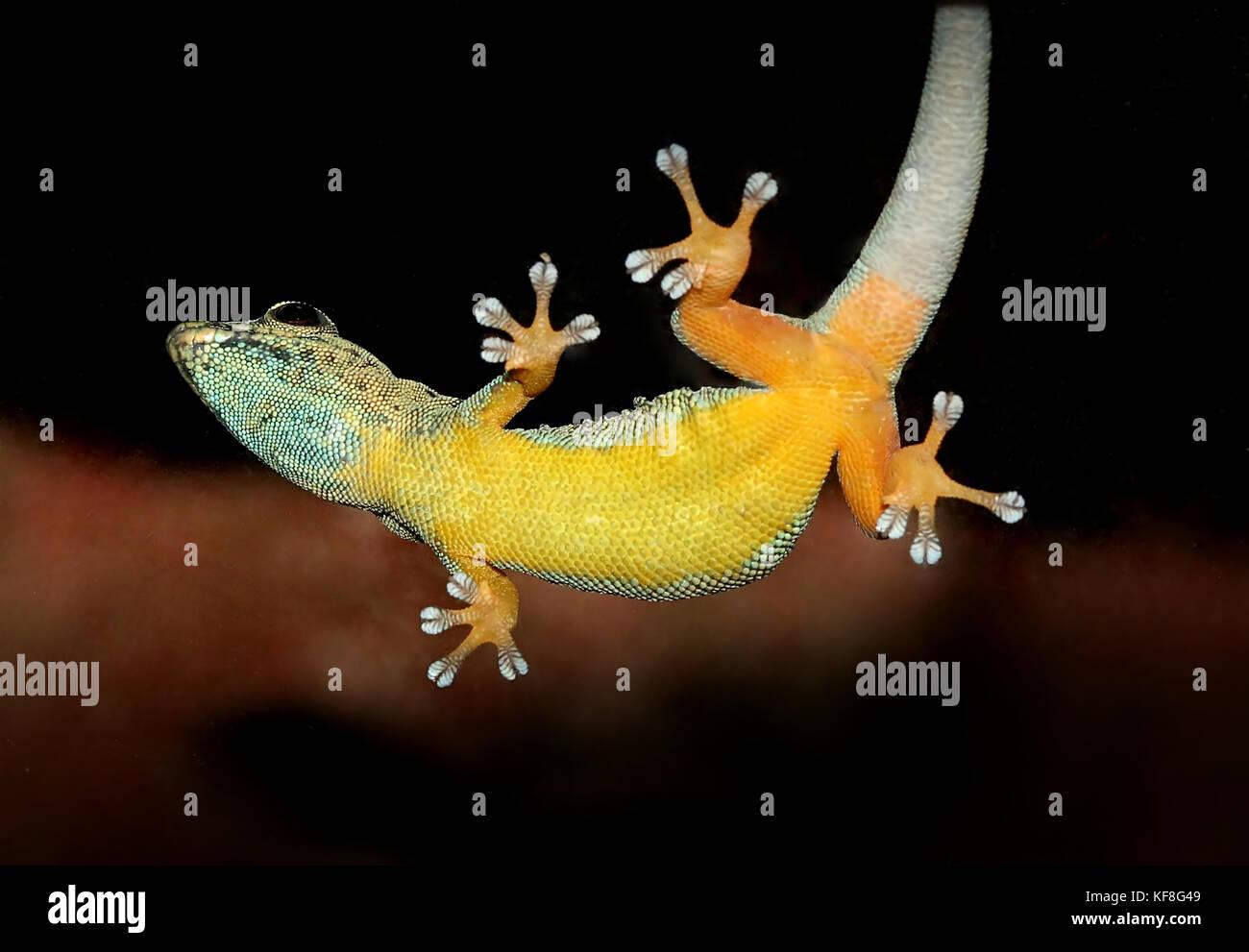 Tanzanian Turquoise Dwarf Gecko or William's dwarf gecko (Lygodactylus williamsi ) clinging to glass. A.k.a.  Electric Blue Gecko Stock Photo