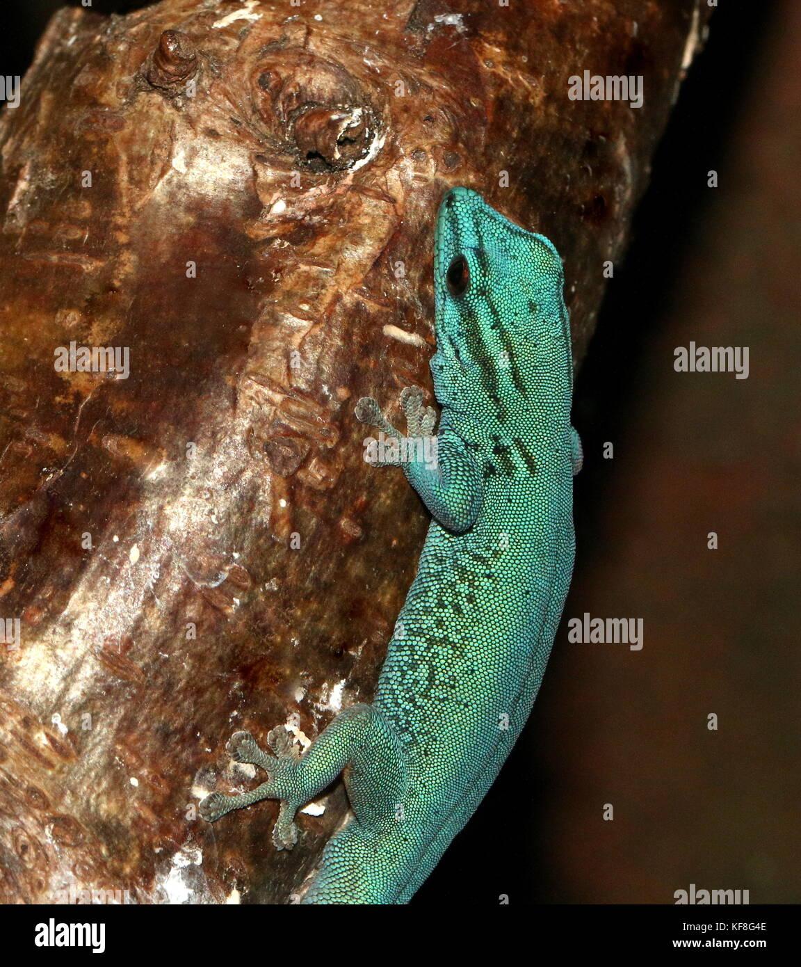 Tanzanian Turquoise Dwarf Gecko or William's dwarf gecko (Lygodactylus williamsi ), also Electric Blue Gecko Stock Photo