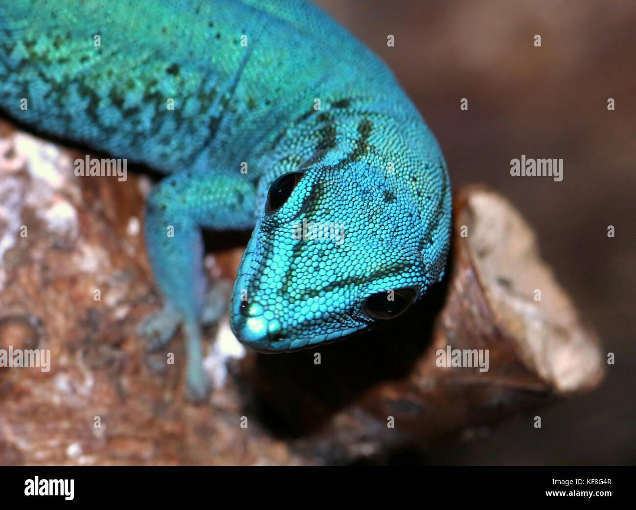 Closeup of the head of a Tanzanian Turquoise Dwarf Gecko or William's dwarf gecko (Lygodactylus williamsi ), also Electric Blue Gecko Stock Photo