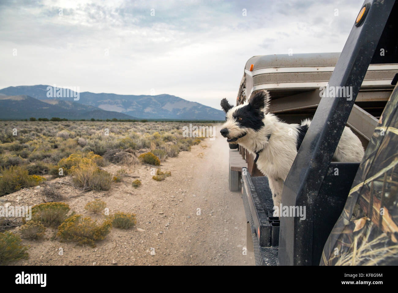 USA, Nevada, Wells, a few of the ranch dogs along for a ride