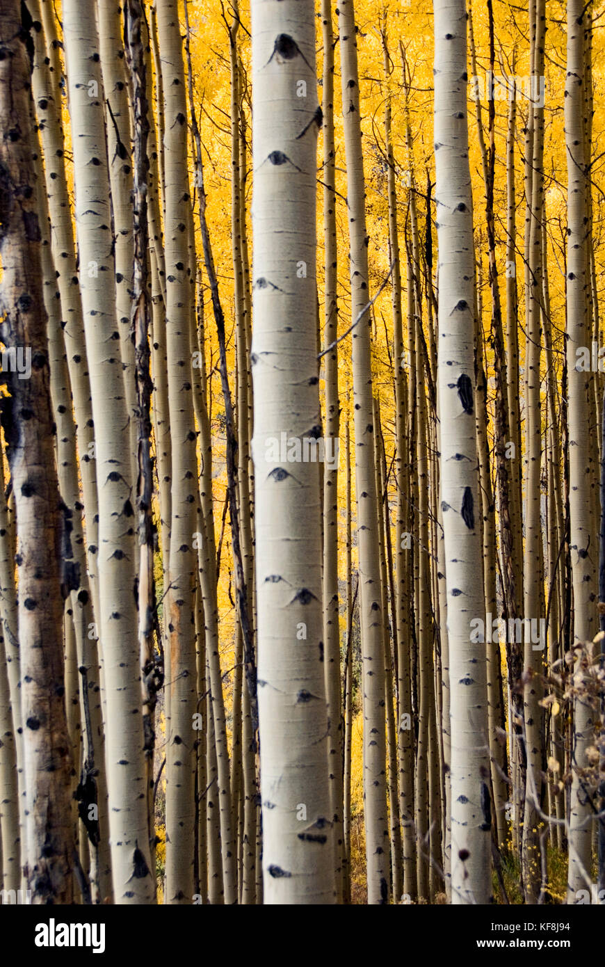 ASPENS FROM A DIFFERENT VIEW - Stock Image