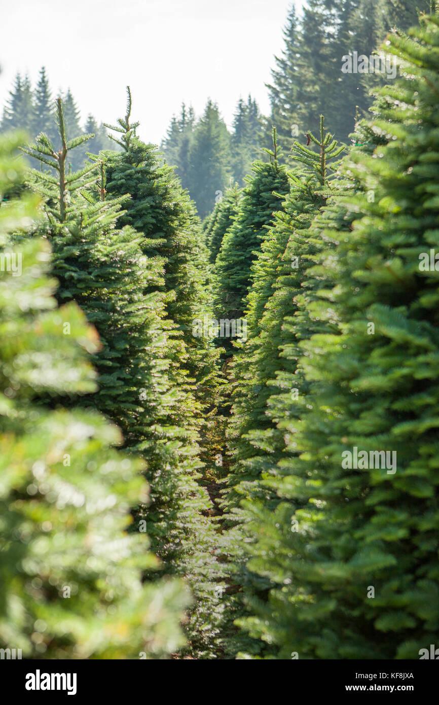 Christmas Tree Langley
