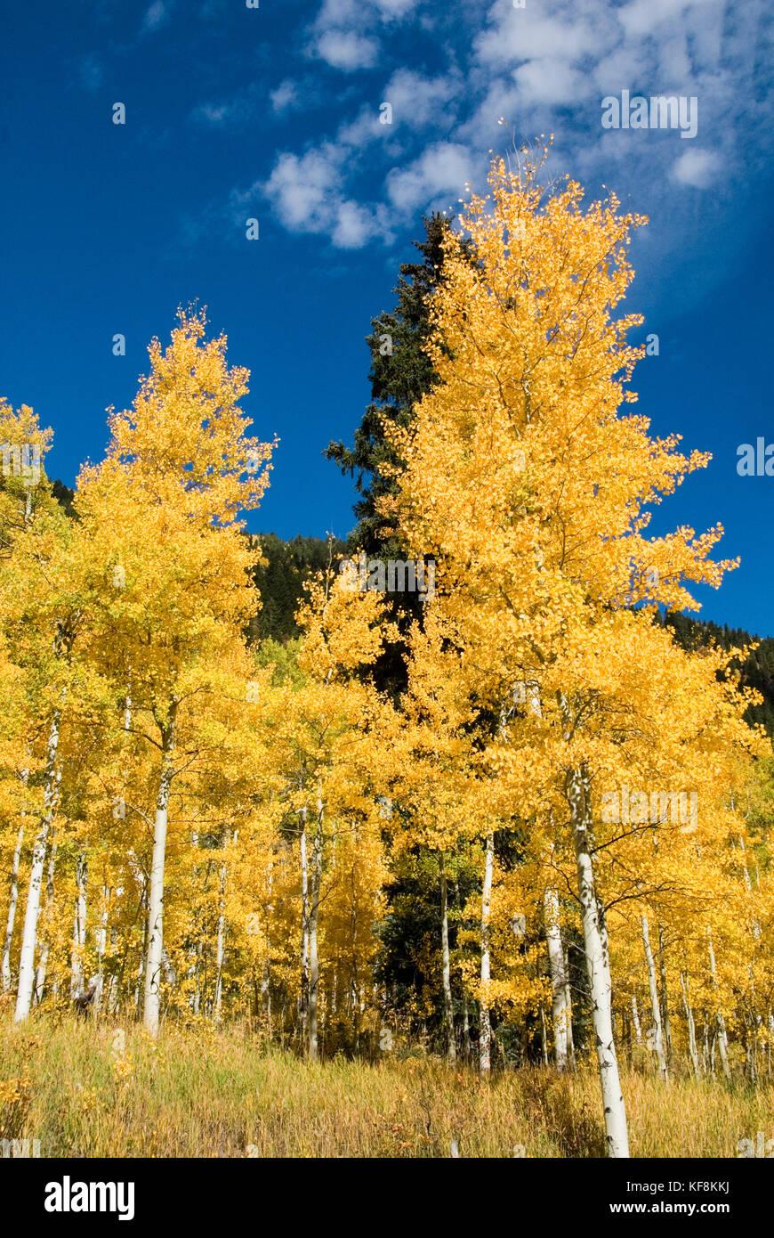 COLORFUL YELLOW FALL ASPENS - Stock Image