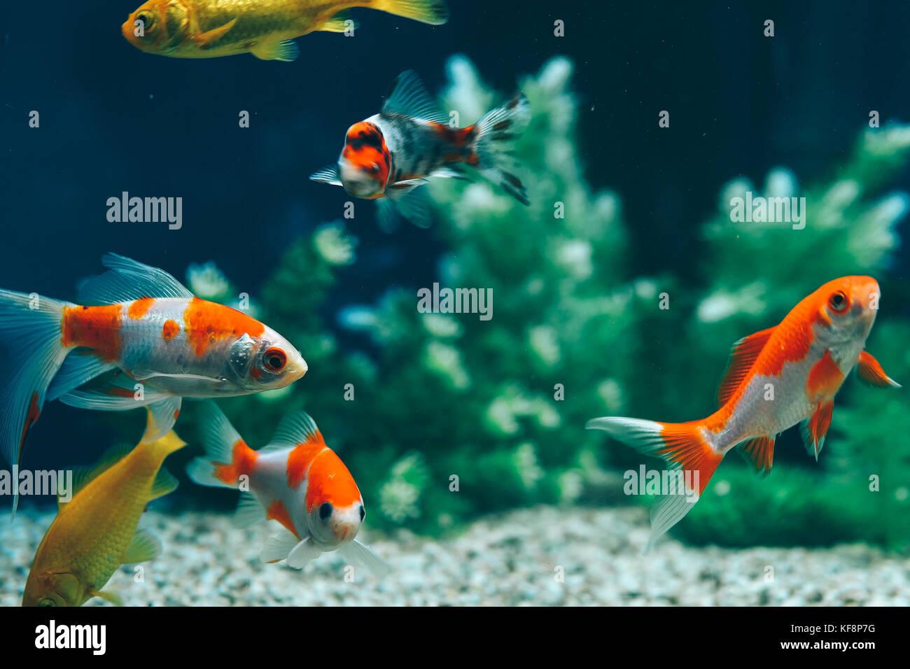 Yellow and Red Goldfish Swimming In Aquarium Stock Photo: 164306228 ...