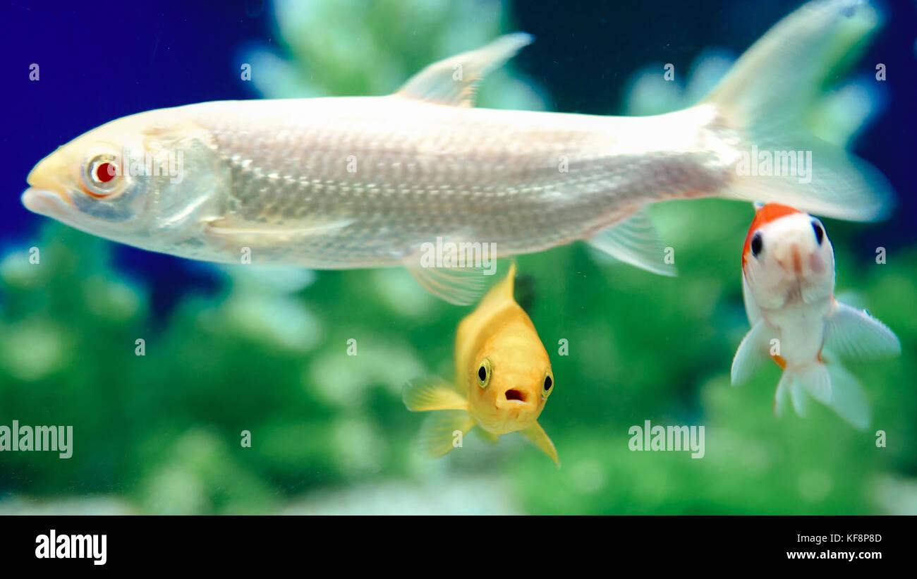 Yellow and Red Goldfish Swimming In Aquarium Stock Photo: 164306253 ...