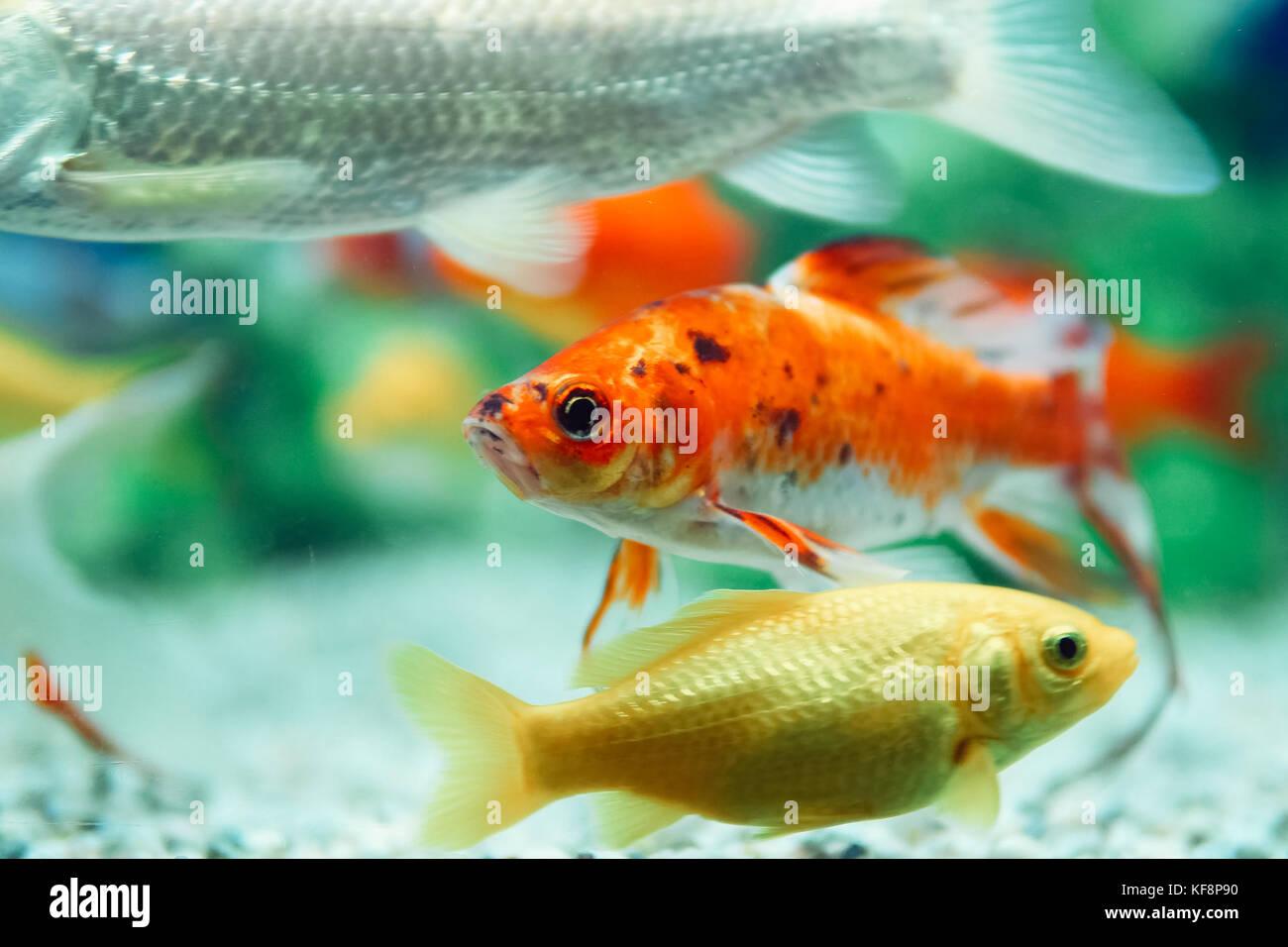 Yellow and Red Goldfish Swimming In Aquarium Stock Photo: 164306268 ...