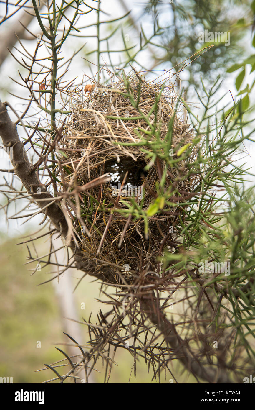 GALAPAGOS ISLANDS, ECUADOR, Tangus Cove, a bird nest seen in a tree on the NW side of Isabela Island - Stock Image