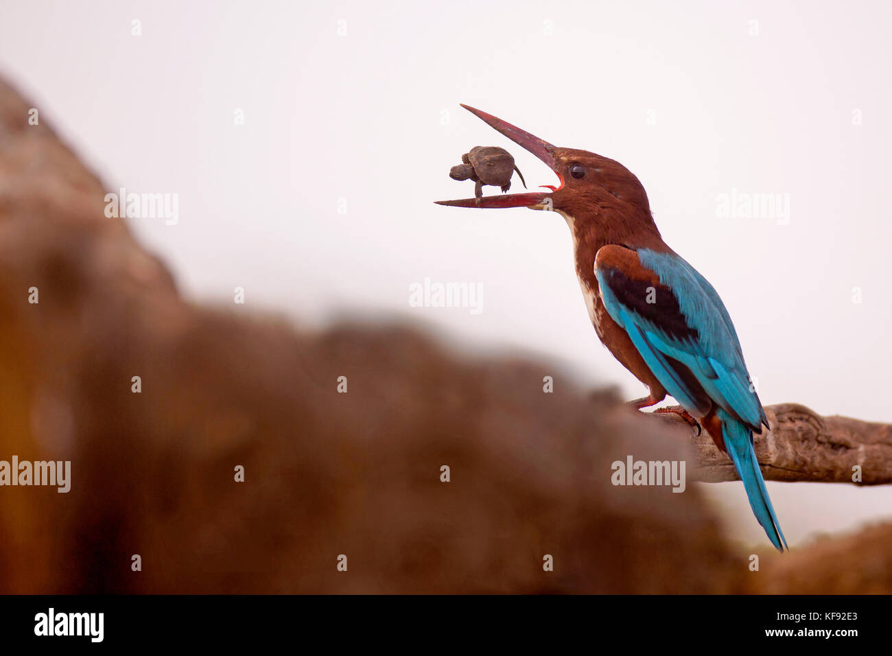 White-throated Kingfisher (Halcyon smyrnensis) with a tortoise in its beak, Negev, Israel - Stock Image