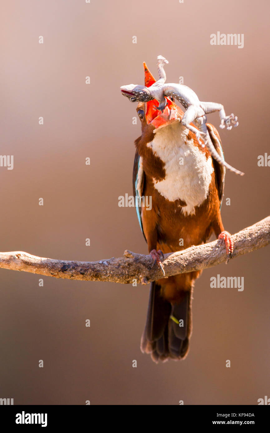 White-throated Kingfisher (Halcyon smyrnensis) with a gecko  in its beak, Negev, Israel - Stock Image