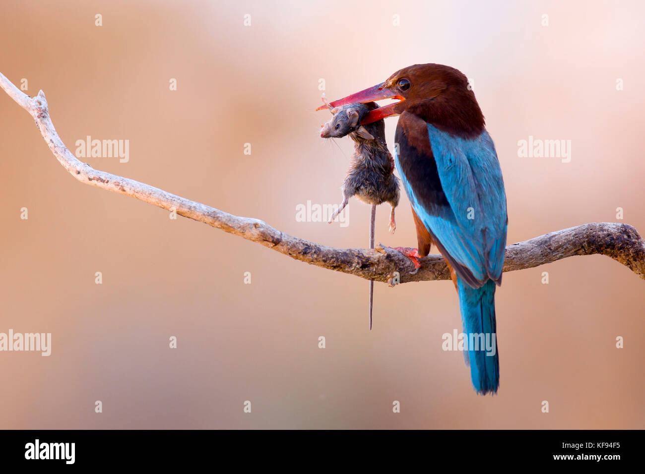 White-throated Kingfisher (Halcyon smyrnensis) with a rodent in its beak, Negev, Israel - Stock Image
