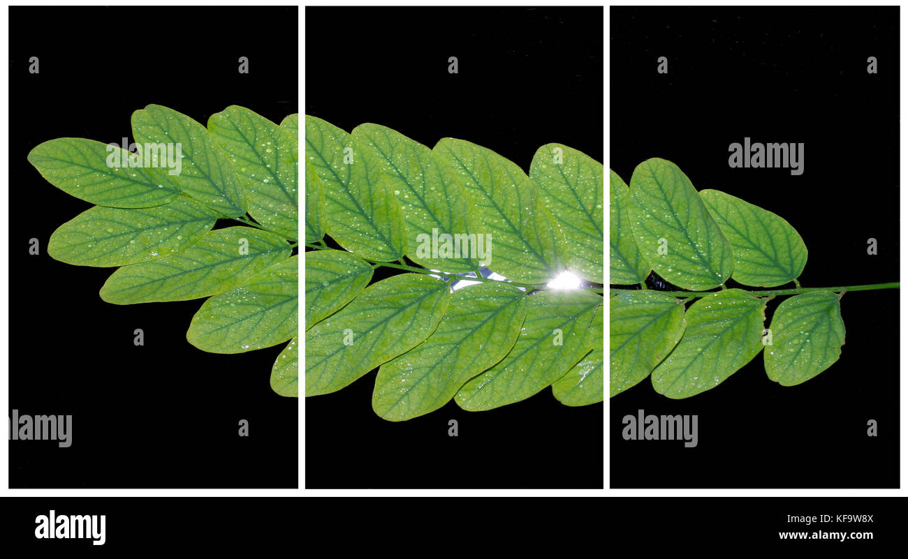 False acacia leaves on light and black bachground  (Triptych: picture molded into three fields for the printing - Stock Image
