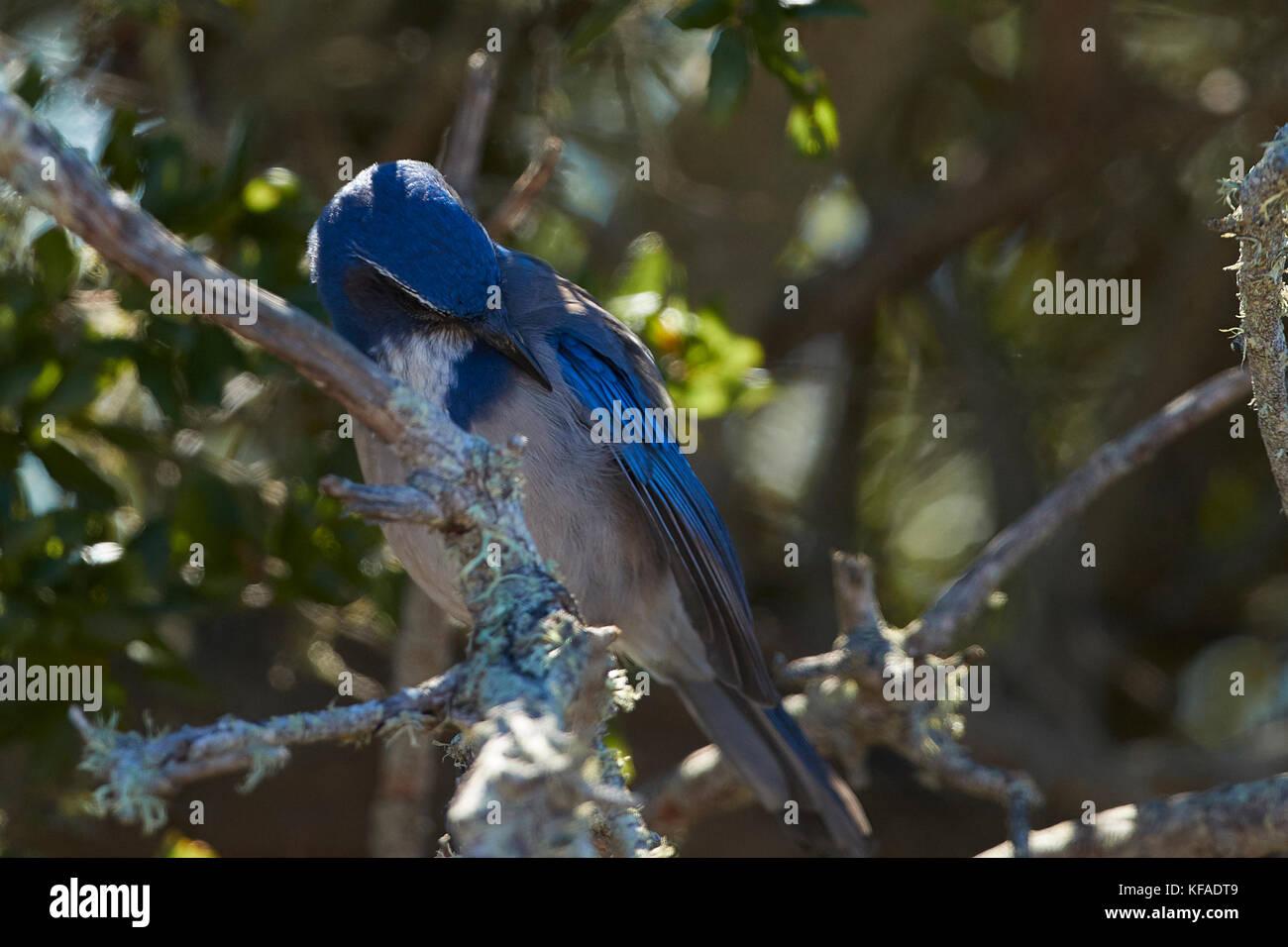 California Scrub Jay (Aphelocoma Californica), Perched On A Shrub On Angel Island, California. Stock Photo
