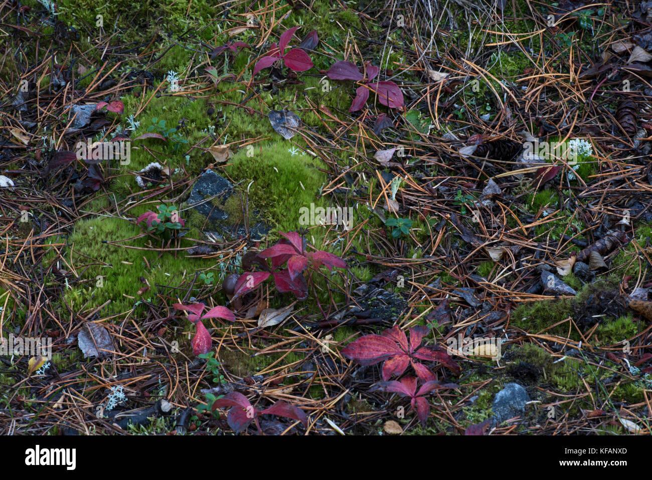 Boreal Tundra Lichen Stock Photos & Boreal Tundra Lichen ...