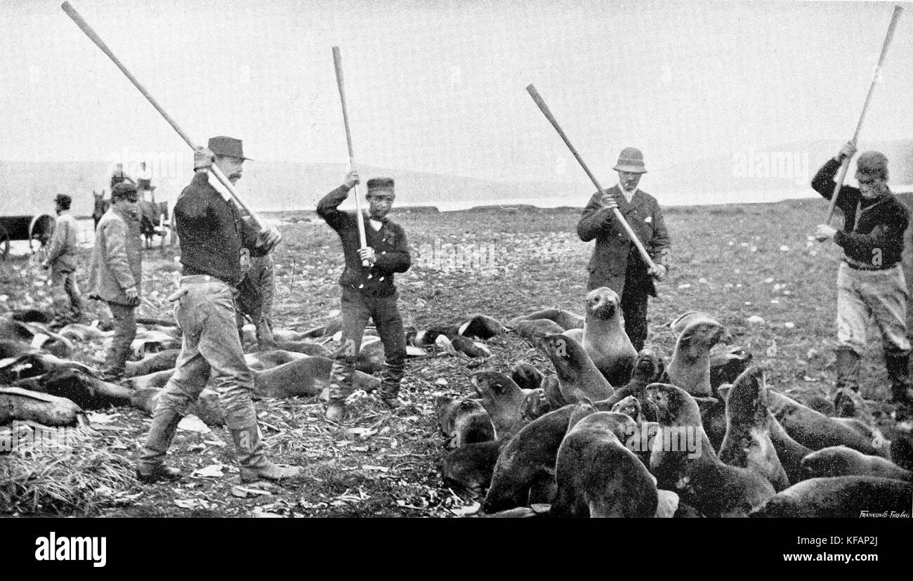 Men killing fur seals on St Paul Island, Alaska, 1890s. - Stock Image