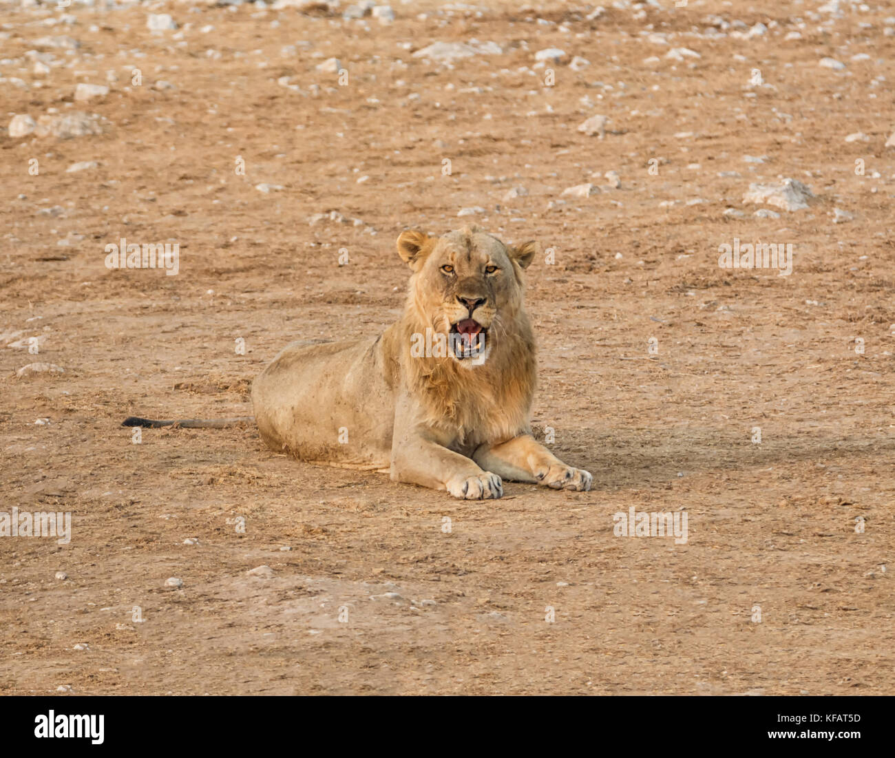 Lion Lying Down High Resolution Stock Photography And Images Alamy Select from premium lion laying down of the highest quality. https www alamy com stock image a male lion lying down in the namibian savanna 164351641 html