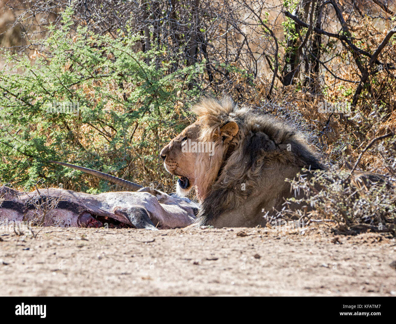 A male Lion with a Gemsbok kill in the Namibian savanna Stock Photo