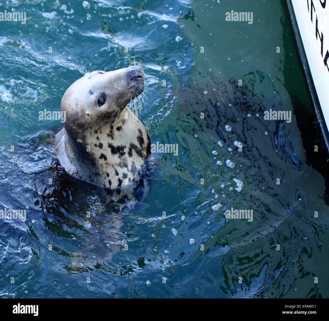 Close-up of female grey seal (Halichoerus grypus atlantica) begging for chum from fishermen at the Chatham Fish Stock Photo