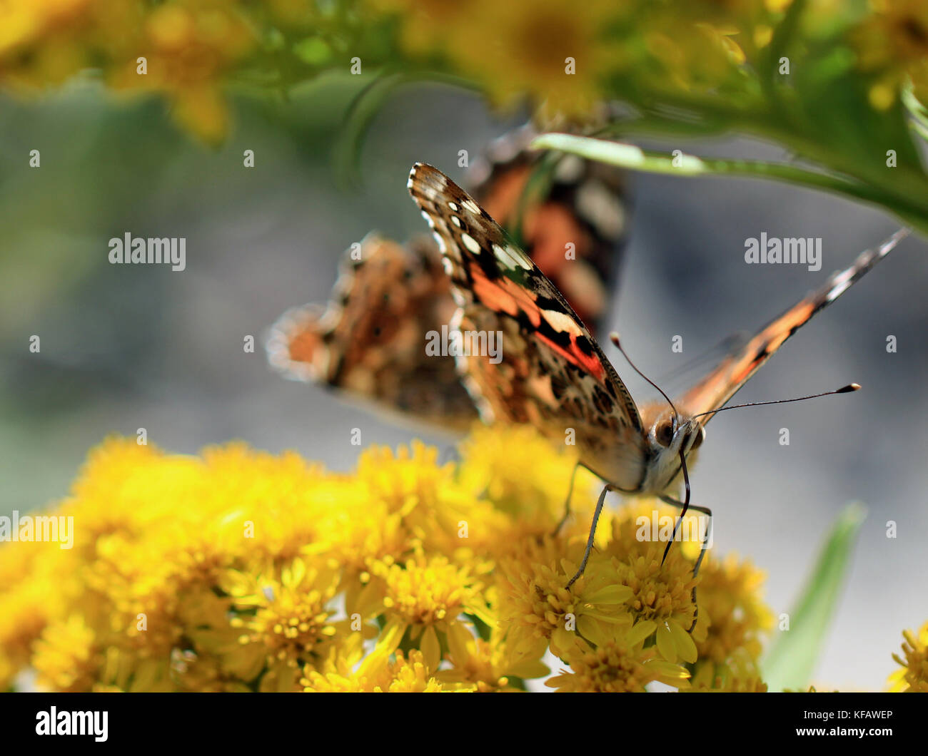Close-up of a Painted lady butterfly (Vanessa cardui) pollinating Goldenrod flowers (Solidago), with visible antennae, - Stock Image