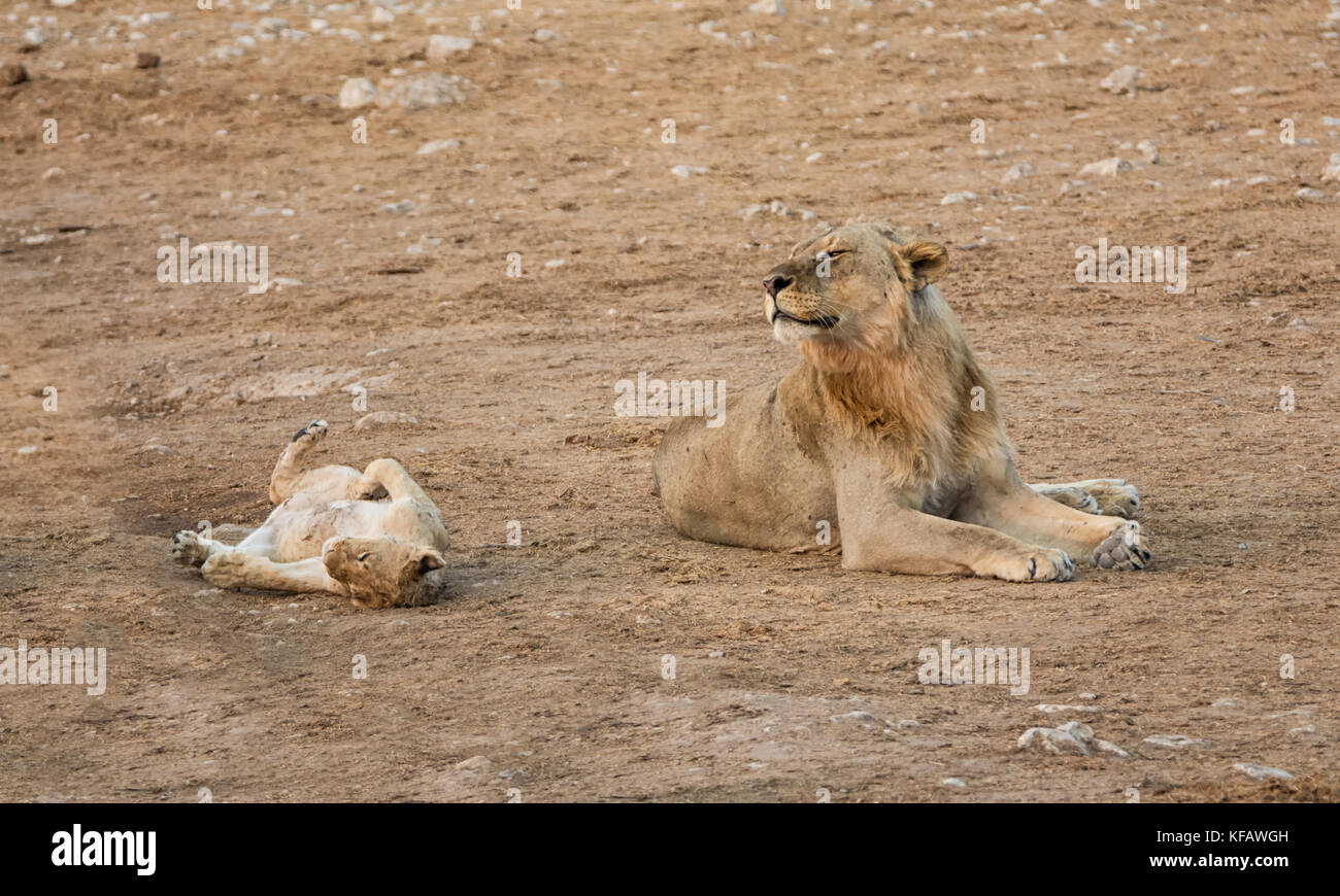 A male Lion and cub together by a watering hole in the Namibian savanna Stock Photo