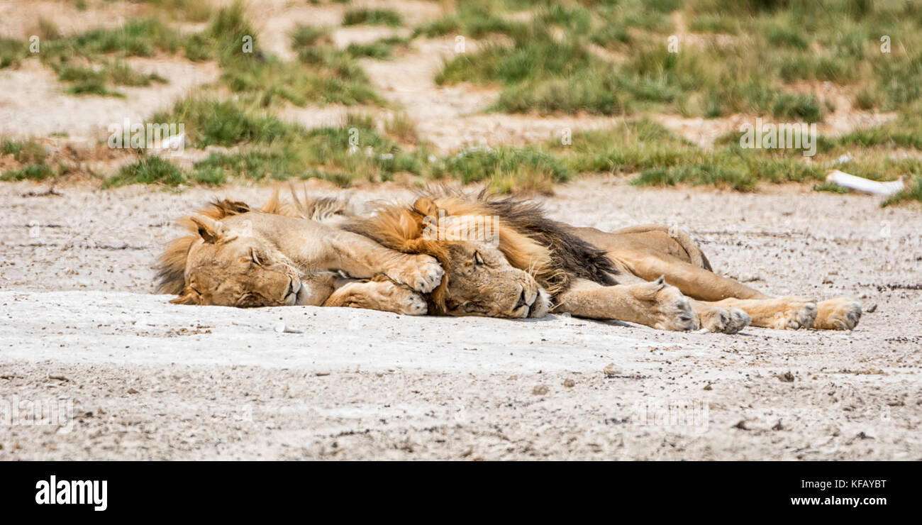 A pair of Lions snoozing in the Namibian savanna - Stock Image