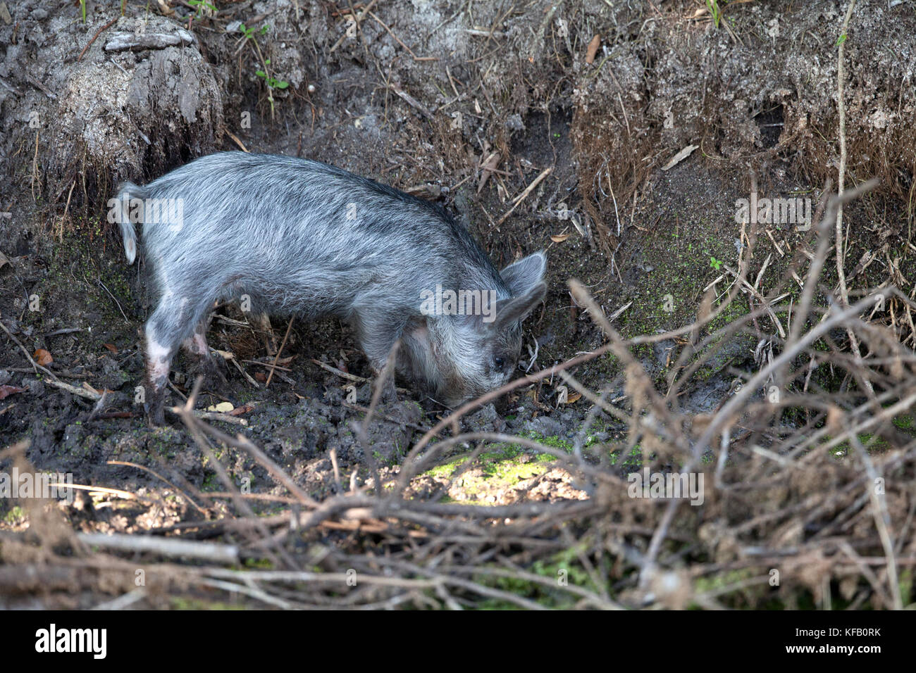 A Wild Baby Pig Digs In The Underbrush At Merritt Island National Wildlife Refuge May