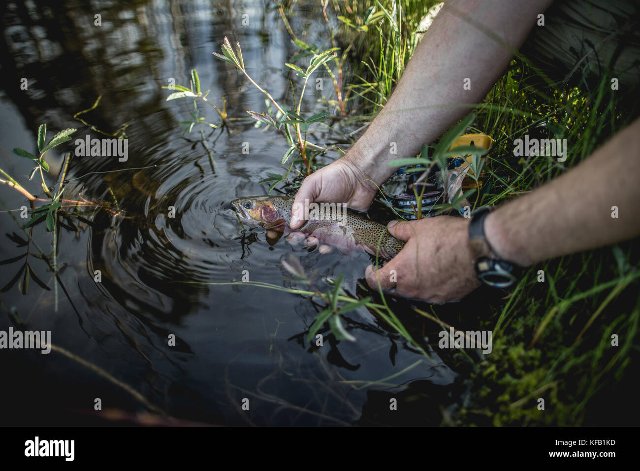 A fisherman releases a westslope cutthroat trout into Howe Lake at the Glacier National Park June 7, 2017 in Montana. Stock Photo