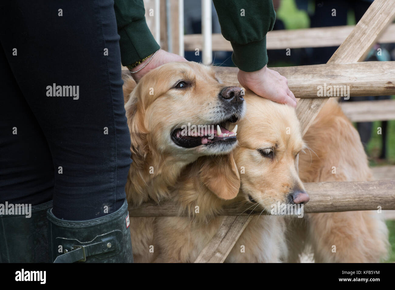 Golden retriever gun dogs at Weald and Downland open air museum, autumn countryside show, Singleton, Sussex, England - Stock Image