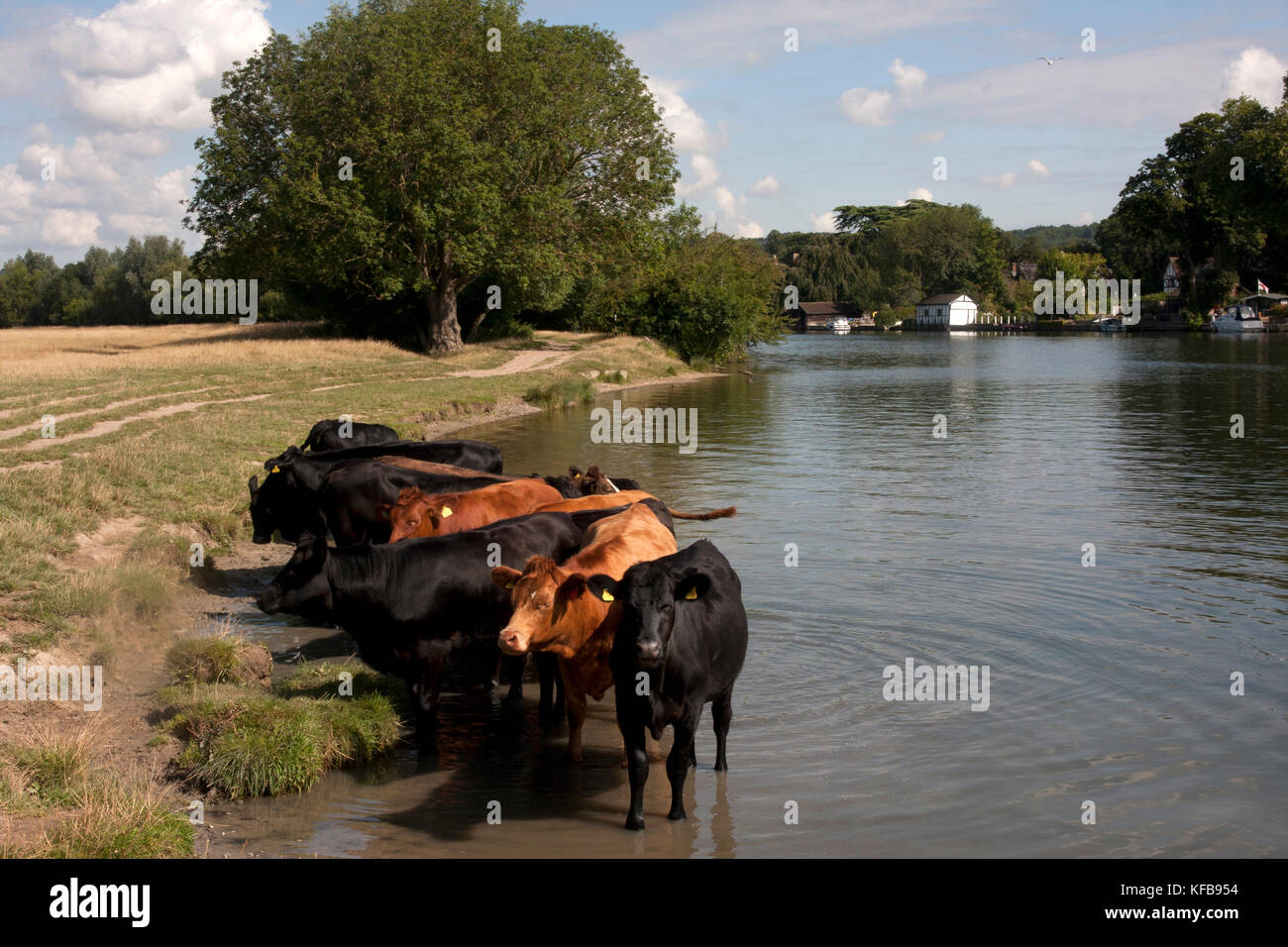 cattle bathing in River Thames, Cookham, near High Wycombe, Buckinghamshire, England - Stock Image